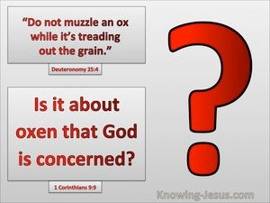 1 Corinthians 9:9 Do Not Muzzel An Ox Is Is Oxen That God Is Concerned Bout (gray)