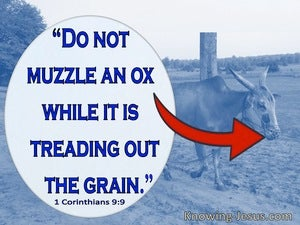 1 Corinthians 9:9 Do Not Muzzel An Ox While It Is Treading Out The Grain (blue)