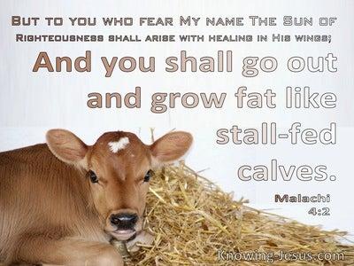 Malachi 4:2 You Shall Grow Fat Like Stall:Fed Calves (brown)