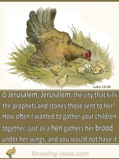 Luke 13:34 As A Hen Gathers Her Brood Under Her Wing (brown)
