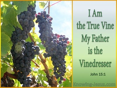 John 15:1 The True Vine (sage)
