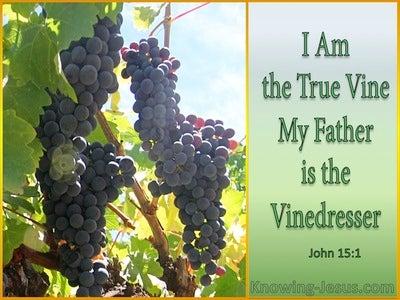 John 15:1 The True Vine (sage)