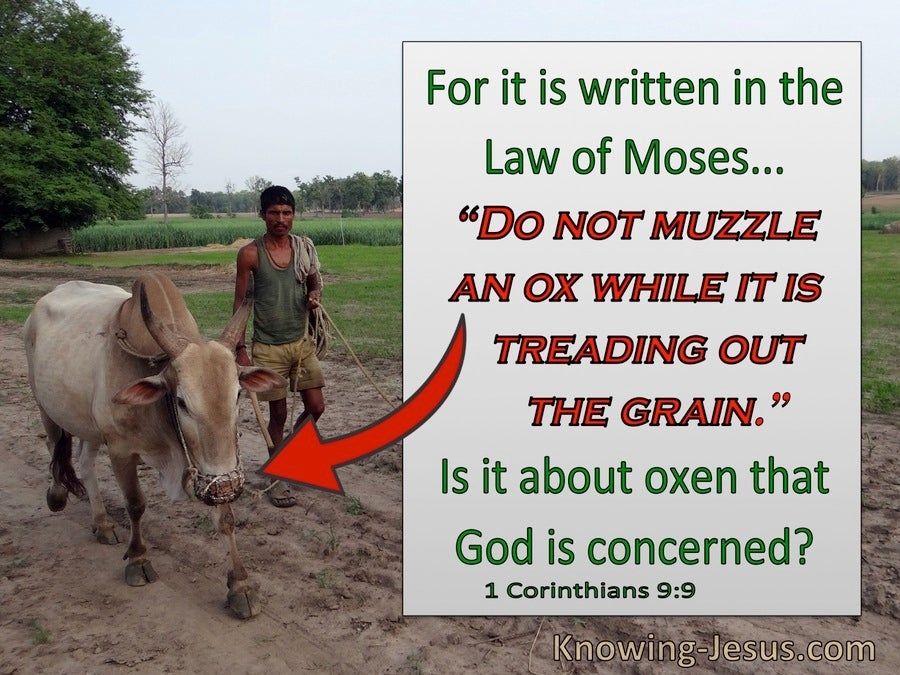 1 Corinthians 9:9 Do not muzzle an ox while treading the grain (red)